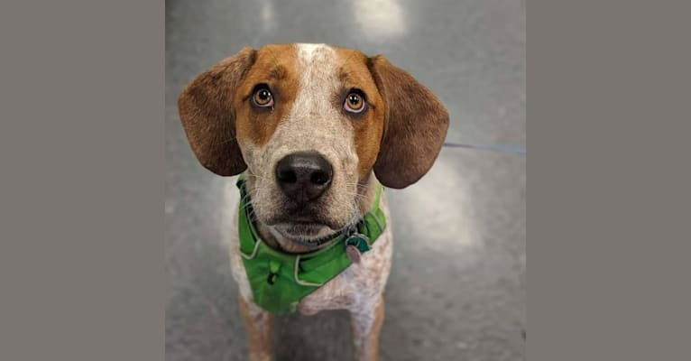 Photo of Tuco, a Bluetick Coonhound, American Pit Bull Terrier, American Bulldog, and Beagle mix in Orrington, Maine, USA