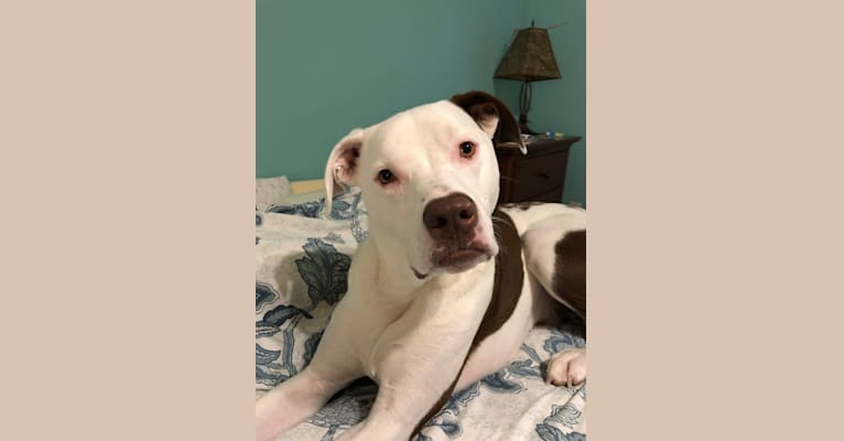 Photo of Chance, an American Pit Bull Terrier, Labrador Retriever, and Perro de Presa Canario mix in Mississippi, USA