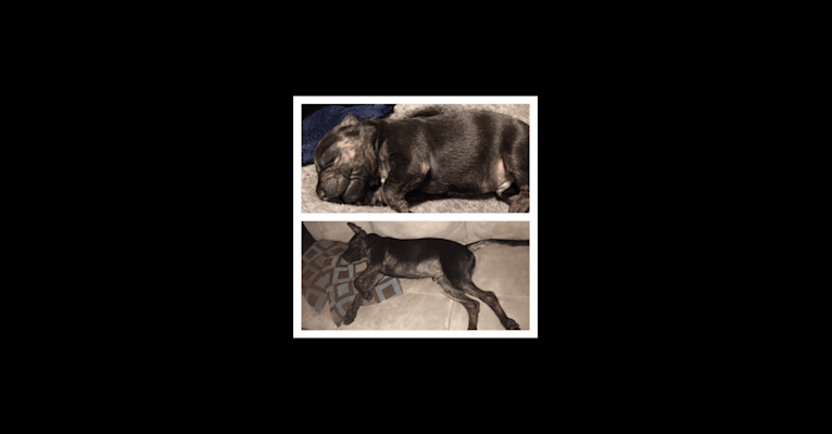 Photo of Zachary, an American Pit Bull Terrier, German Shepherd Dog, Chow Chow, American Staffordshire Terrier, and Mixed mix in Saint Augustine, FL, USA