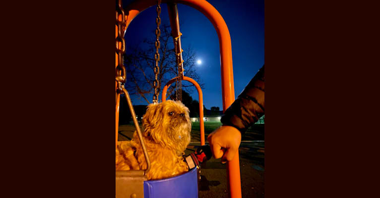 Photo of Rocky, a Brussels Griffon and Affenpinscher mix in Oak Park, California, USA