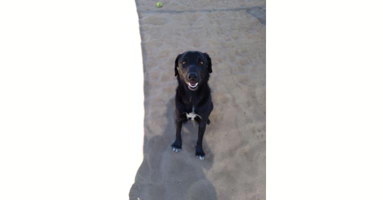 Photo of Nico, a Border Collie, Chow Chow, Australian Cattle Dog, Labrador Retriever, and Mixed mix