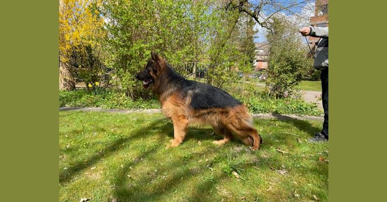 Photo of Haus Qira Fenris, a German Shepherd Dog  in Blommestien 10, Frederiksværk, Denmark