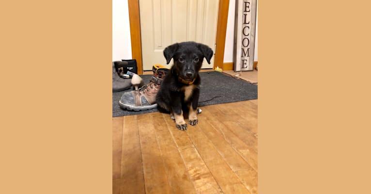 Photo of Emmett, a German Shepherd Dog, Australian Cattle Dog, and Doberman Pinscher mix in Texas, USA