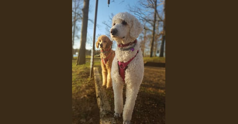 Photo of Sandy, a Poodle (Standard)  in Evensville, TN 37332, USA