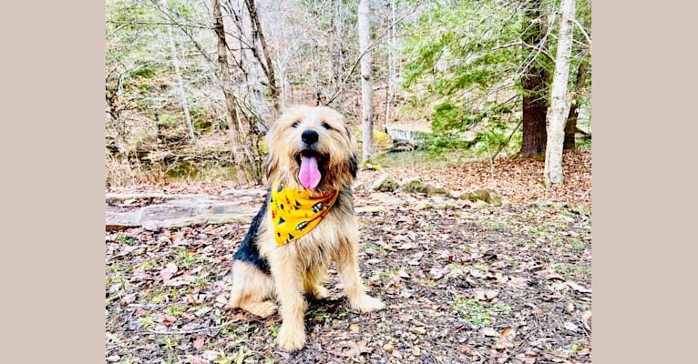 Photo of Cooper, a Great Pyrenees, Beagle, Golden Retriever, Poodle (Small), and Mixed mix in Alabama, USA