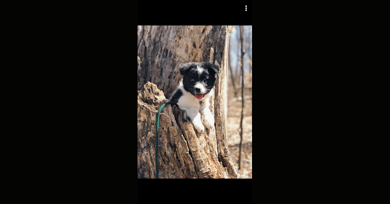 Photo of Finch, a Border Collie, American Eskimo Dog, Rat Terrier, and Mixed mix in Michigan, USA