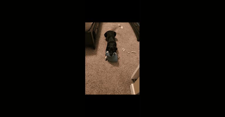 Photo of Hollie, a Labrador Retriever, Australian Cattle Dog, Rottweiler, Border Collie, Golden Retriever, and Mixed mix in Fort Hall, Idaho, USA