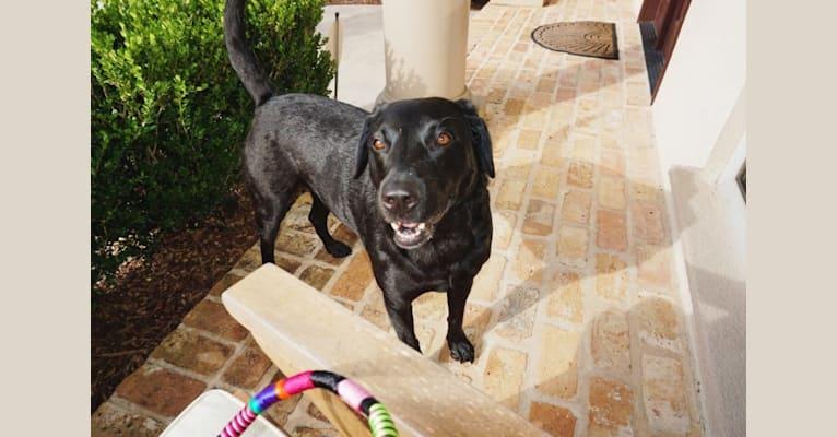 Photo of Tia, a Labrador Retriever  in Zachary, LA, USA