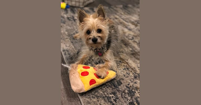 Photo of Molly, a Yorkshire Terrier, Cairn Terrier, Chihuahua, and Poodle (Small) mix in Riverside, California, USA