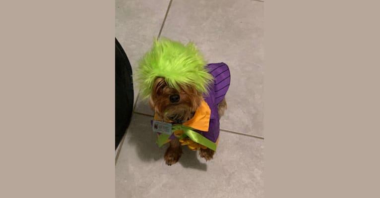 Photo of Maximillian Bodero, a Yorkshire Terrier  in 21309 Risky Road, Waynesville, MO, USA