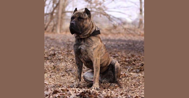 Photo of Alf, a Perro de Presa Canario  in Illinois, USA