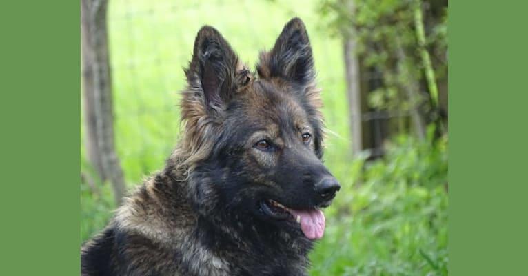 Photo of Ahava, a German Shepherd Dog  in Loenen, Nederland