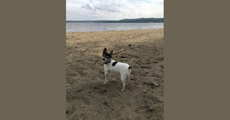 Photo of Cleo, a Toy Fox Terrier  in Edmonton, AB, Canada