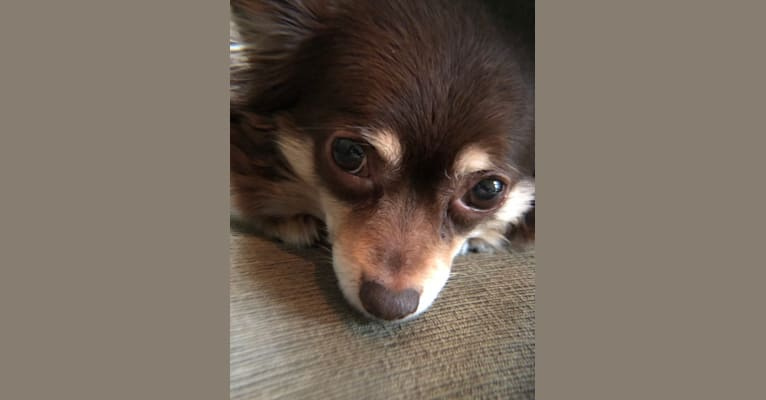 Photo of Tilly, a Pomchi  in Olympia, Washington, USA