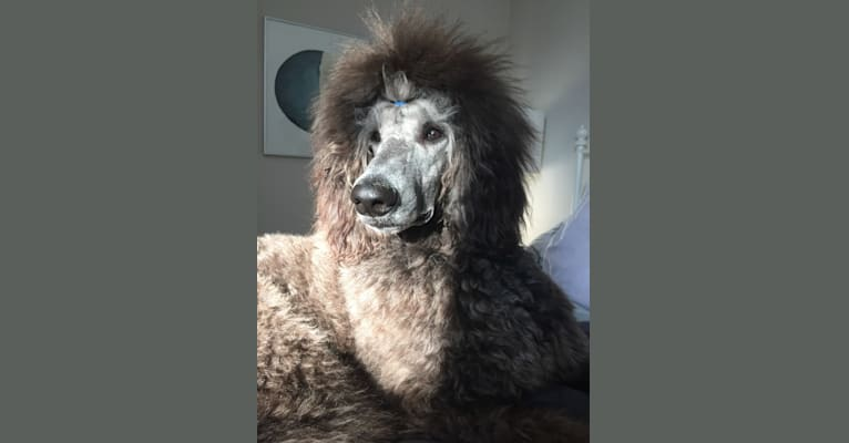 Photo of Aldo (Stately's Rebel With Four Paws), a Poodle (Standard)  in Arnprior, ON, Canada