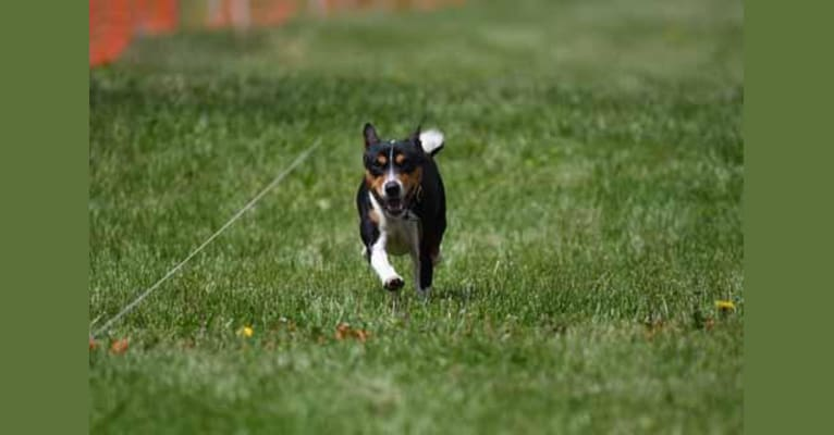 "Photo of ""T-Man"", a Basenji  in Dayton, OH, USA"