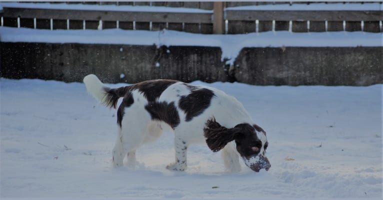 Photo of Earl, an English Springer Spaniel  in Fridley, MN, USA