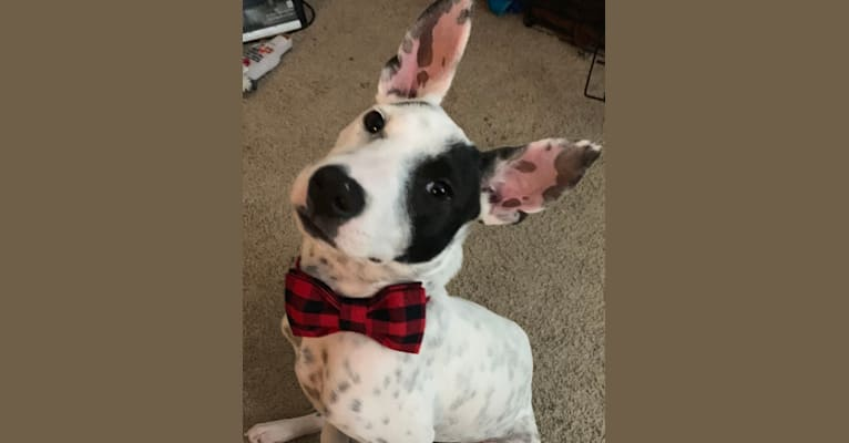 Photo of Brodie, an American Pit Bull Terrier, Boxer, Boston Terrier, Siberian Husky, and Mixed mix in Manassas Park, Virginia, USA