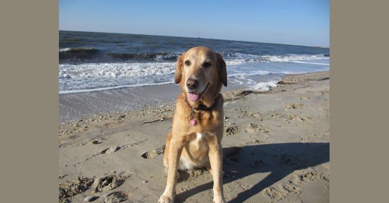Photo of Mazie, a Goldador  in Narberth, Pennsylvania, USA