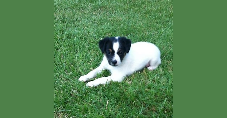 Photo of Lui, a Rat Terrier  in San Diego, California, USA