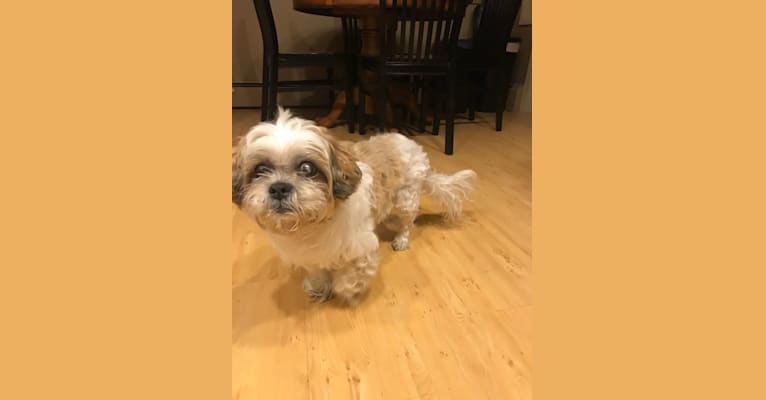 Photo of Sir Chuckington Pupperson III, a Shih Tzu and Lhasa Apso mix in Westchester County, NY, USA