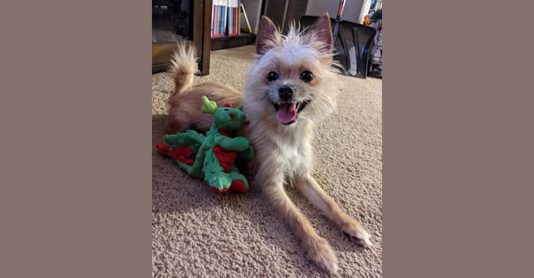 Photo of Copper, a Pomeranian, Chihuahua, Shih Tzu, and Mixed mix in Muncie, Indiana, USA