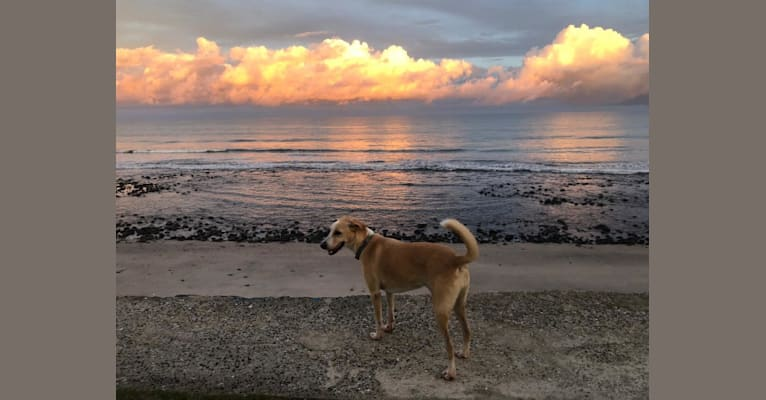 Photo of Misty, an American Village Dog mix in Panama City, Panama, Panama