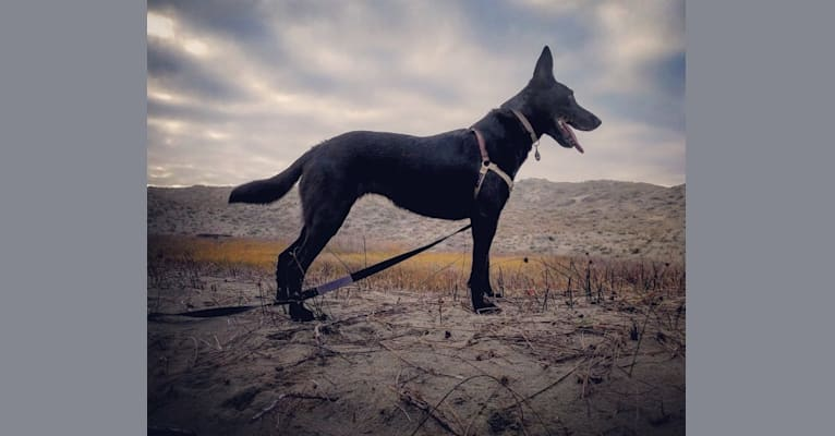 Photo of Maybe Baby, a Belgian Shepherd  in McKinleyville, California, USA