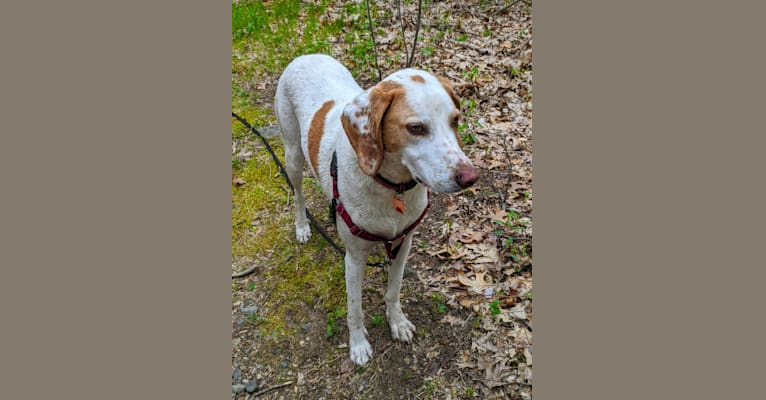 Photo of Wilson, an American English Coonhound  in Tennessee, USA