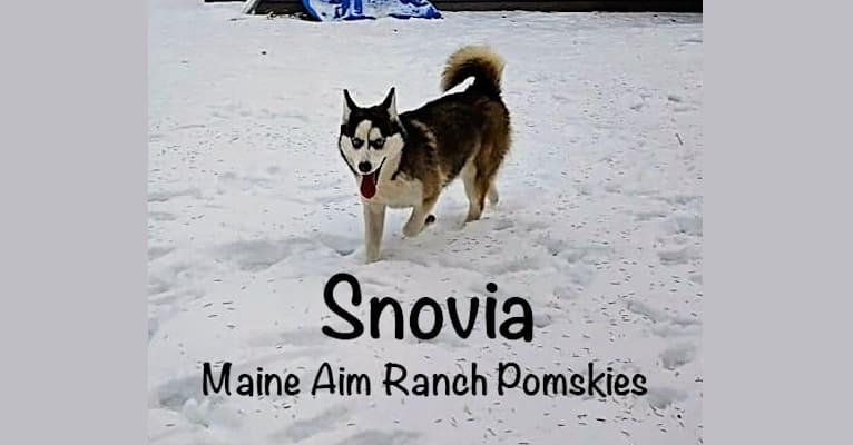 Photo of Snow, a Pomsky  in Maine Aim Ranch, King, Allerton, IA, USA