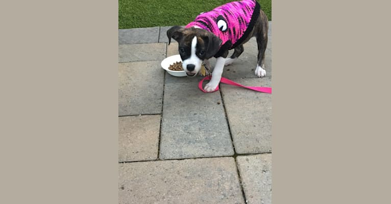 Photo of Ada, an American Staffordshire Terrier, Bulldog, and American Bulldog mix in California, USA