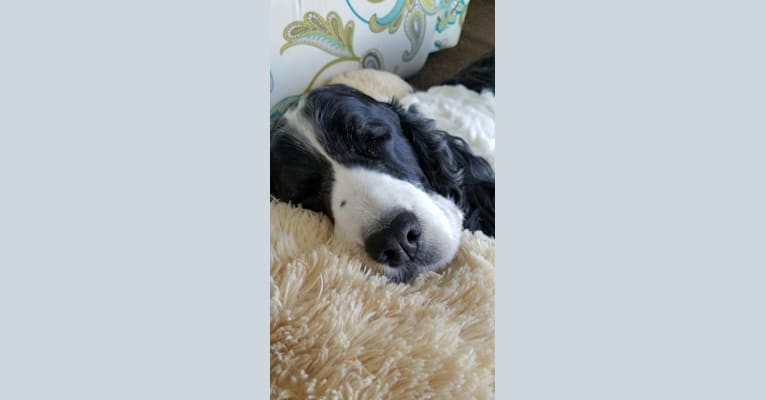 Photo of mia, an English Springer Spaniel  in Knoxville, Tennessee, USA