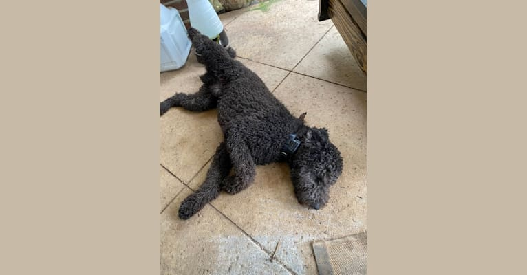 Photo of Prince O'Neill, a Labradoodle  in Mabank, Texas, USA