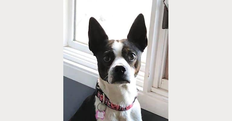 Photo of Zoey Zoe Zoe Junior Shabadoo, a Boston Terrier, Australian Cattle Dog, and Border Collie mix in Calgary, Alberta, Canada