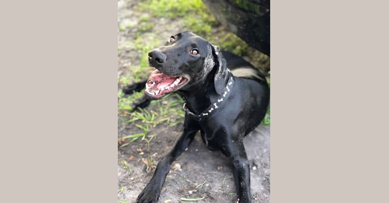 Photo of Crow, a Doberman Pinscher and Weimaraner mix in Dunedin, Florida, USA