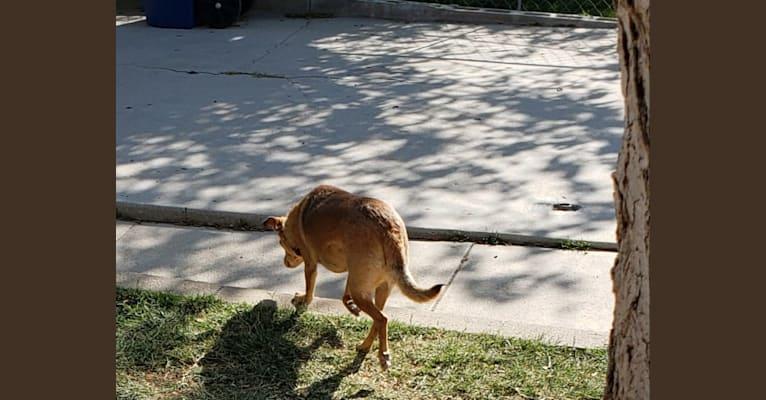Photo of James Dean Bonham, a Chihuahua, Miniature Pinscher, Chow Chow, Pomeranian, and Mixed mix in King City, California, USA