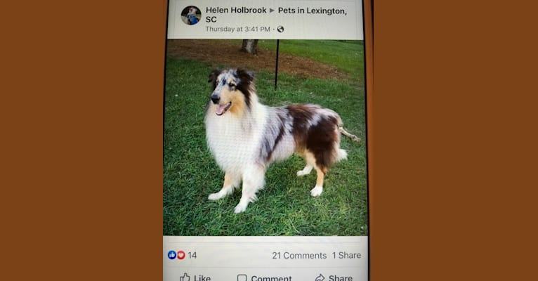 Photo of Cody, a Collie  in Owego, New York, USA