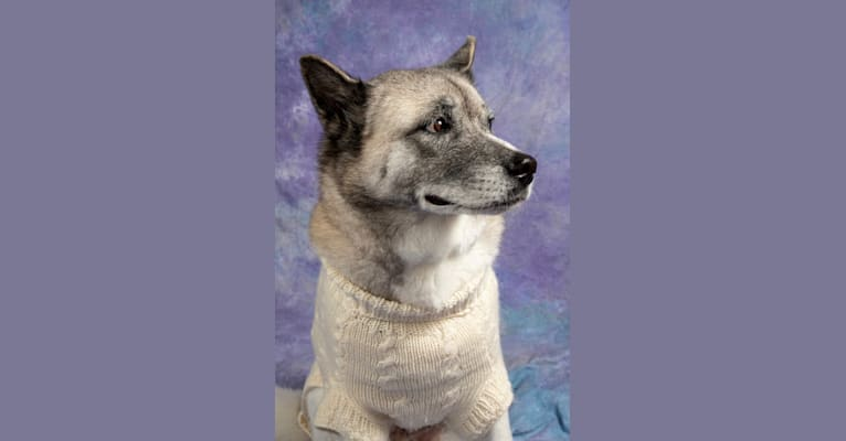 Photo of Ashi, an Akita and Siberian Husky mix in Orlando, Florida, USA