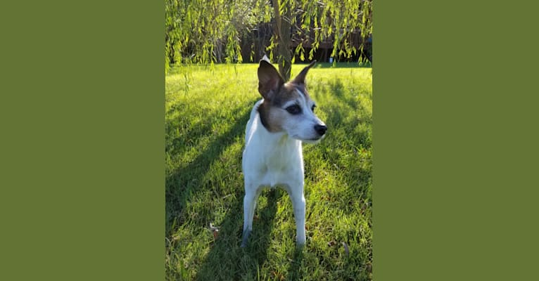 Photo of Alice Foxy, a Russell-type Terrier, Rottweiler, Siberian Husky, Rat Terrier, and Mixed mix in Georgia, USA