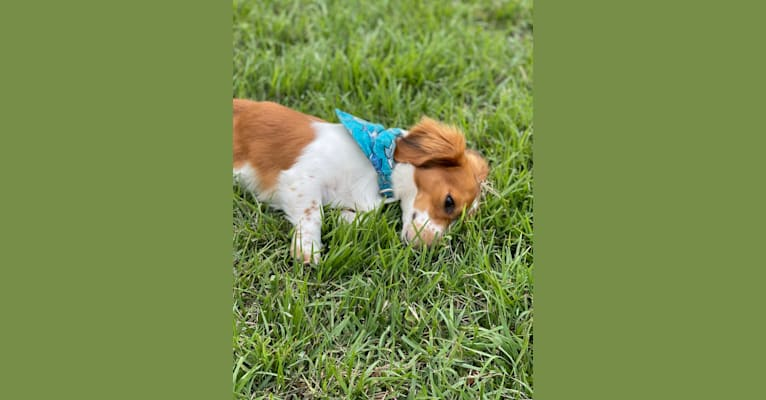 Photo of Hermes, a Dachshund  in Plum, PA, USA