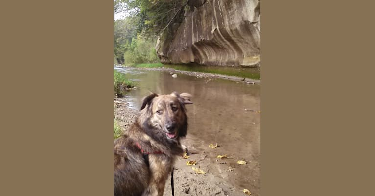 Photo of Maggie, an American Pit Bull Terrier, German Shepherd Dog, Border Collie, and Mixed mix in Kansas, USA