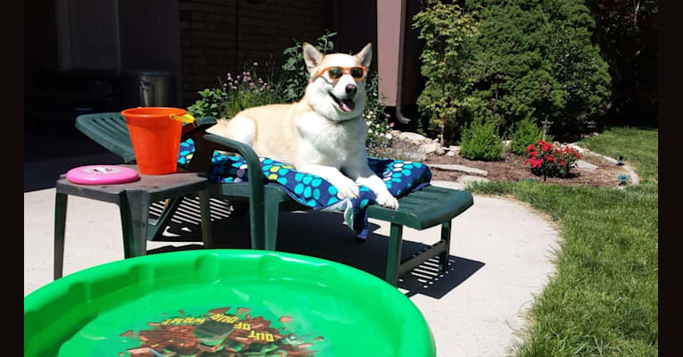 Photo of Boston, an Alaskan Malamute, Siberian Husky, German Shepherd Dog, and Mixed mix in Salt Lake City, Utah, USA