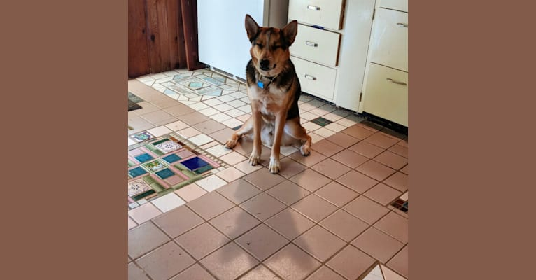 Photo of Kaze (kah-zay), an Australian Cattle Dog, Siberian Husky, German Shepherd Dog, and Mixed mix in San Antonio, Texas, USA