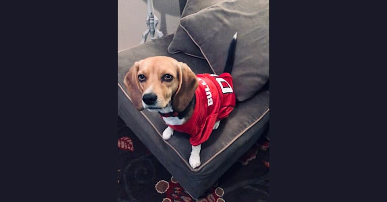 Photo of Maggie, a Beagle  in Hinesville, GA, USA