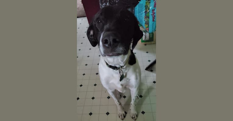 Photo of Rufus, an American Pit Bull Terrier, German Shorthaired Pointer, and Labrador Retriever mix in Willis, Michigan, USA