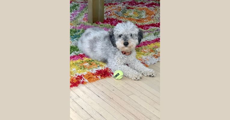 Photo of Jinkxy, a Goldendoodle  in Indiana, USA