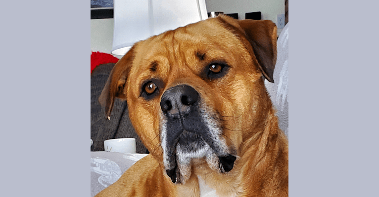 Photo of Ned, an American Bulldog and Rottweiler mix in Fort Lauderdale, FL, USA