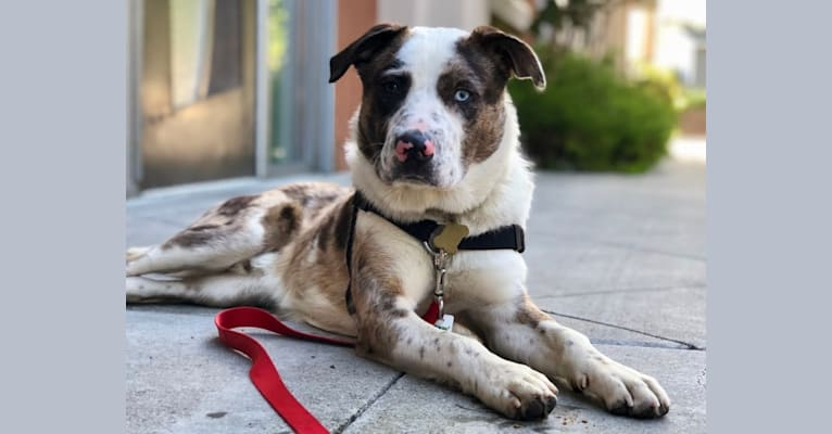 Photo of Opie Gumbo, an American Pit Bull Terrier, Australian Cattle Dog, Australian Shepherd, American Bulldog, and Border Collie mix in Merced, California, USA