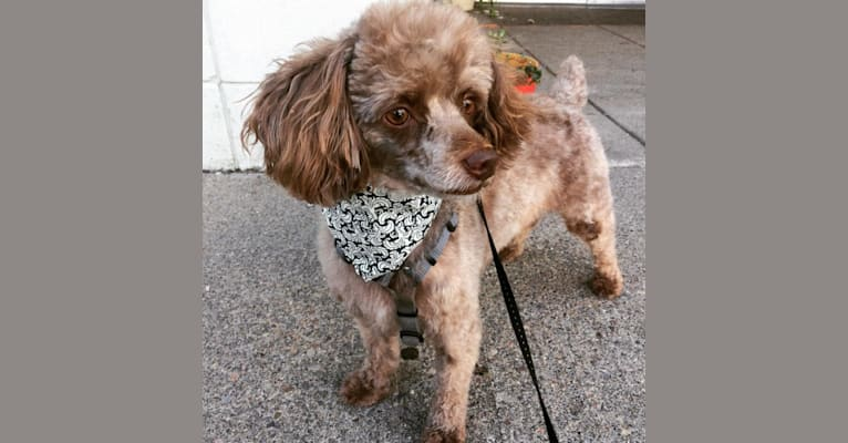 Photo of Jojo, a Yorkipoo  in Kentucky, USA