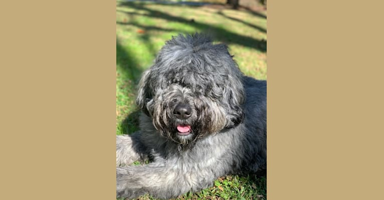 Photo of Lucy Pebbles, a Bouvier des Flandres  in Soldotna, AK, USA